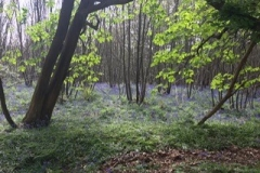 Masses-of-bluebells-1-on-the-way-up-worth-the-walk